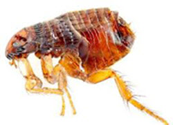 Stats and facts about fleas