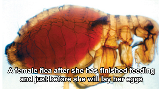 Female flea engorged with its host's blood.